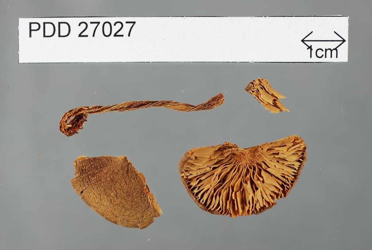 Image of Entoloma porphyrescens