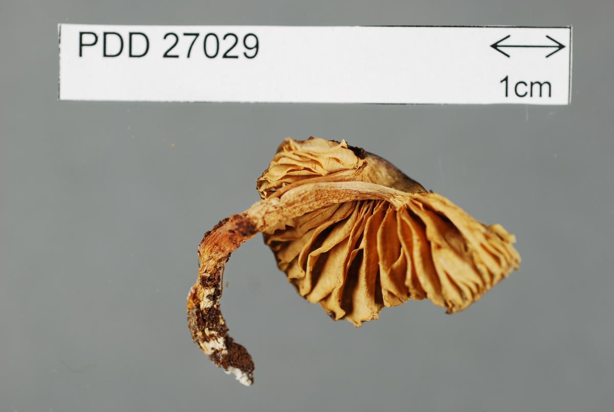 Image of Entoloma gelatinosum