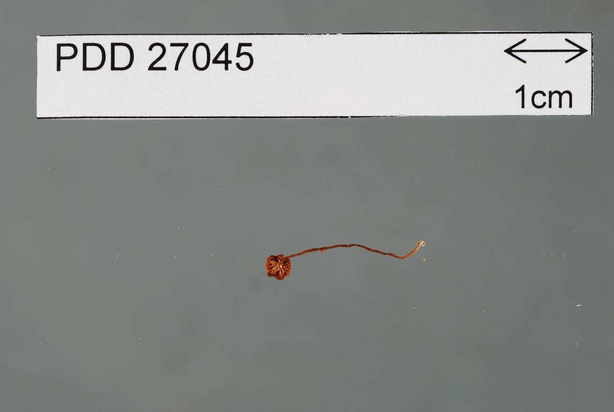Image of Entoloma flavum
