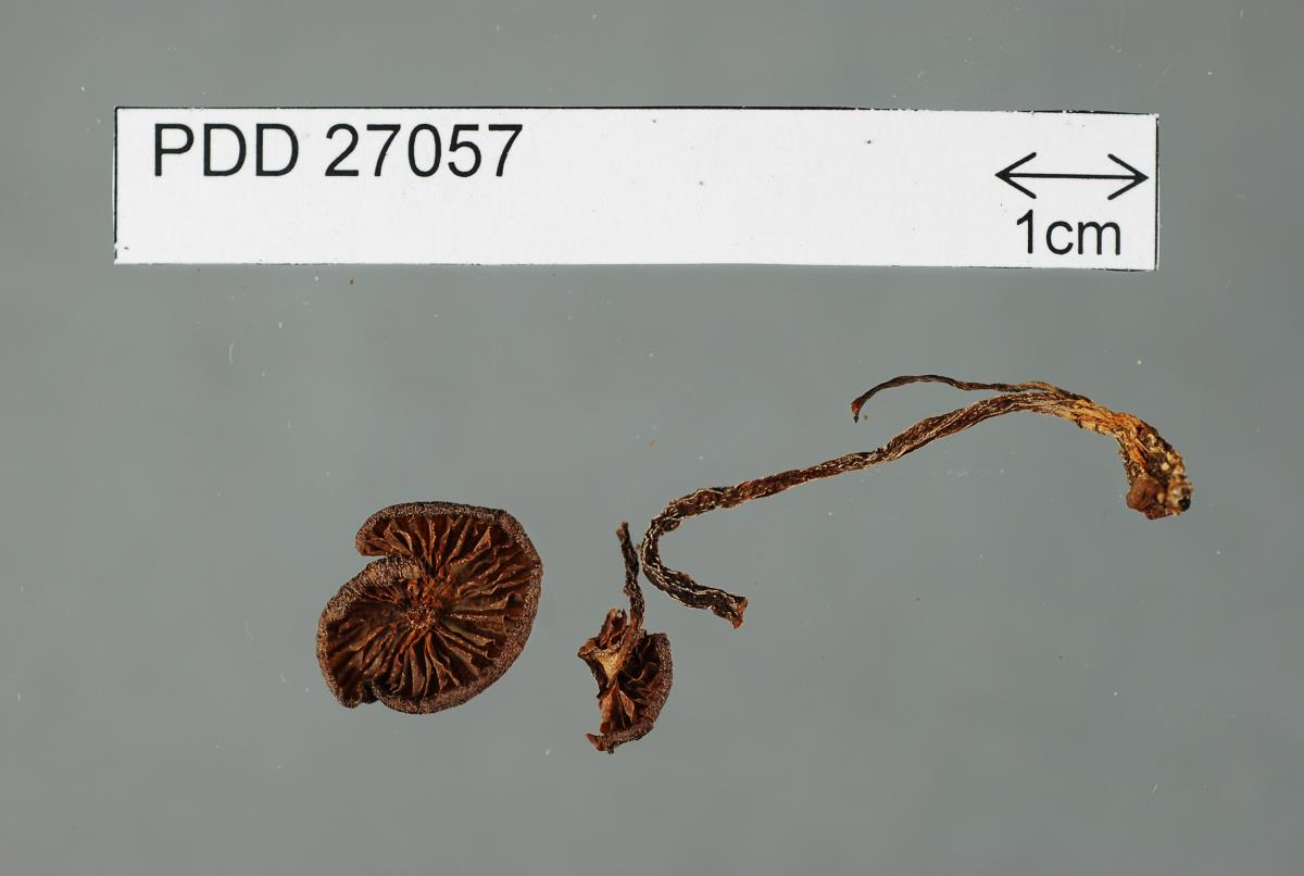 Image of Entoloma deceptivum