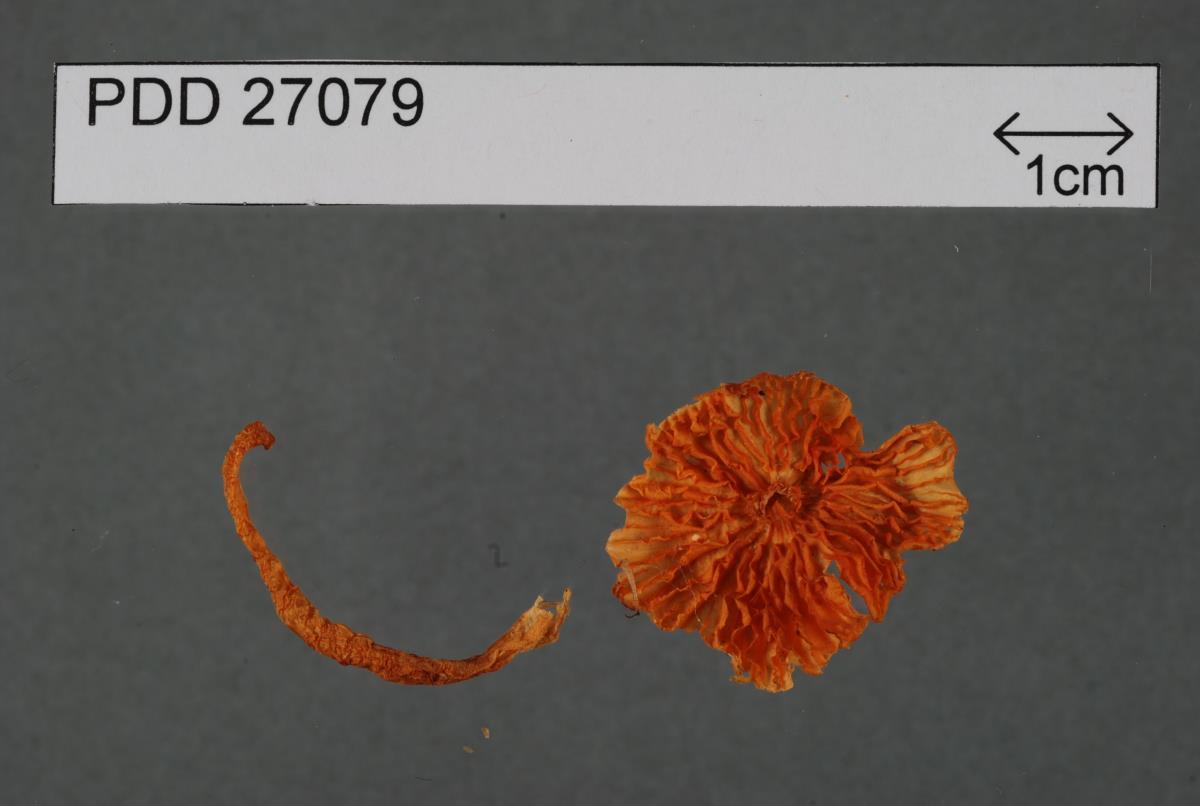 Hygrocybe conspicua image