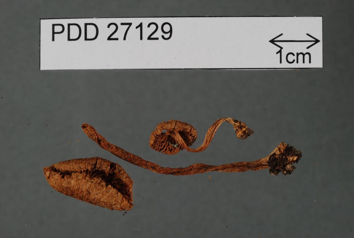 Image of Inocybe luteobulbosa