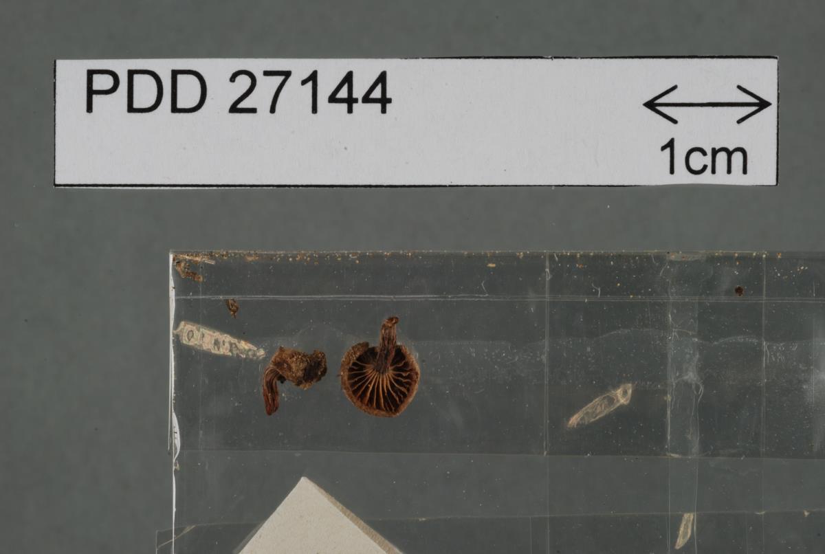 Image of Rhodocybe maleolens