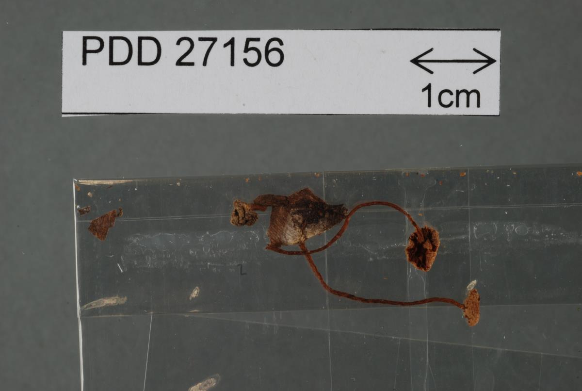 Phaeomarasmius verrucipes image