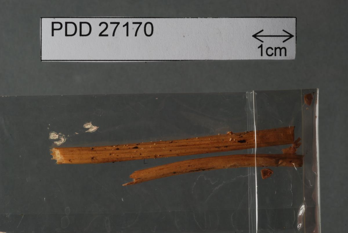 Image of Tetrapyrgos olivaceonigra