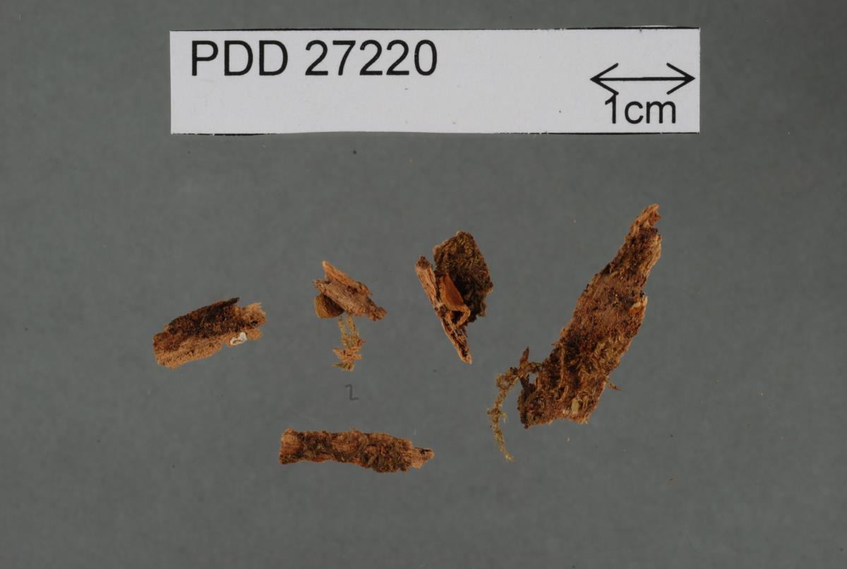 Image of Pyrrhoglossum viriditinctum