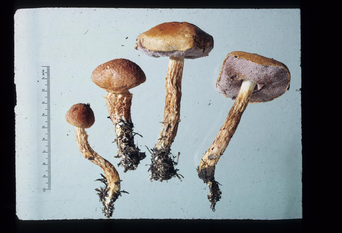 Image of Porphyrellus novae-zelandiae