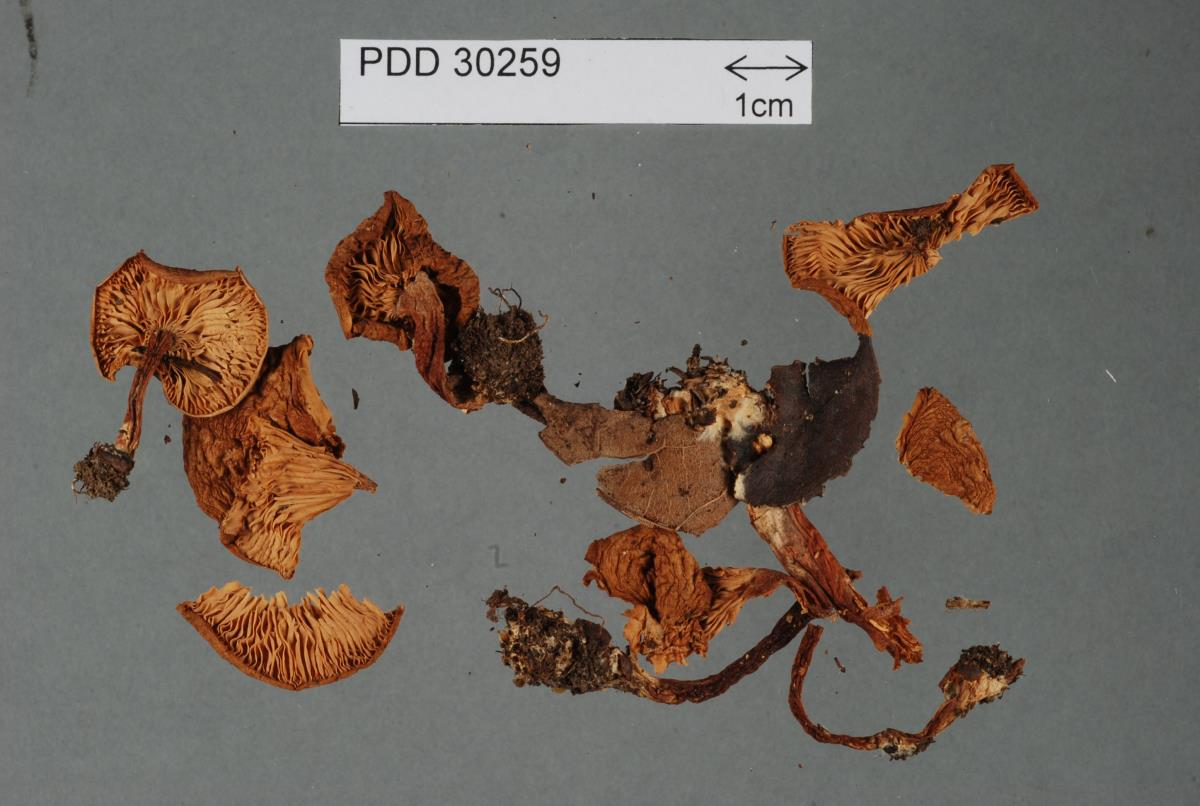 Image of Rhodocybe dingleyae