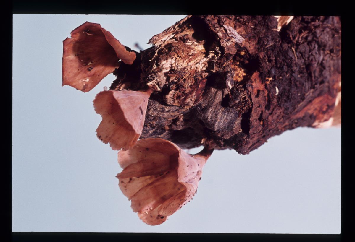 Image of Stereum flabellatum
