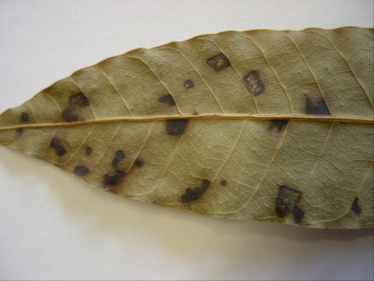 Pestalotiopsis mangiferae image
