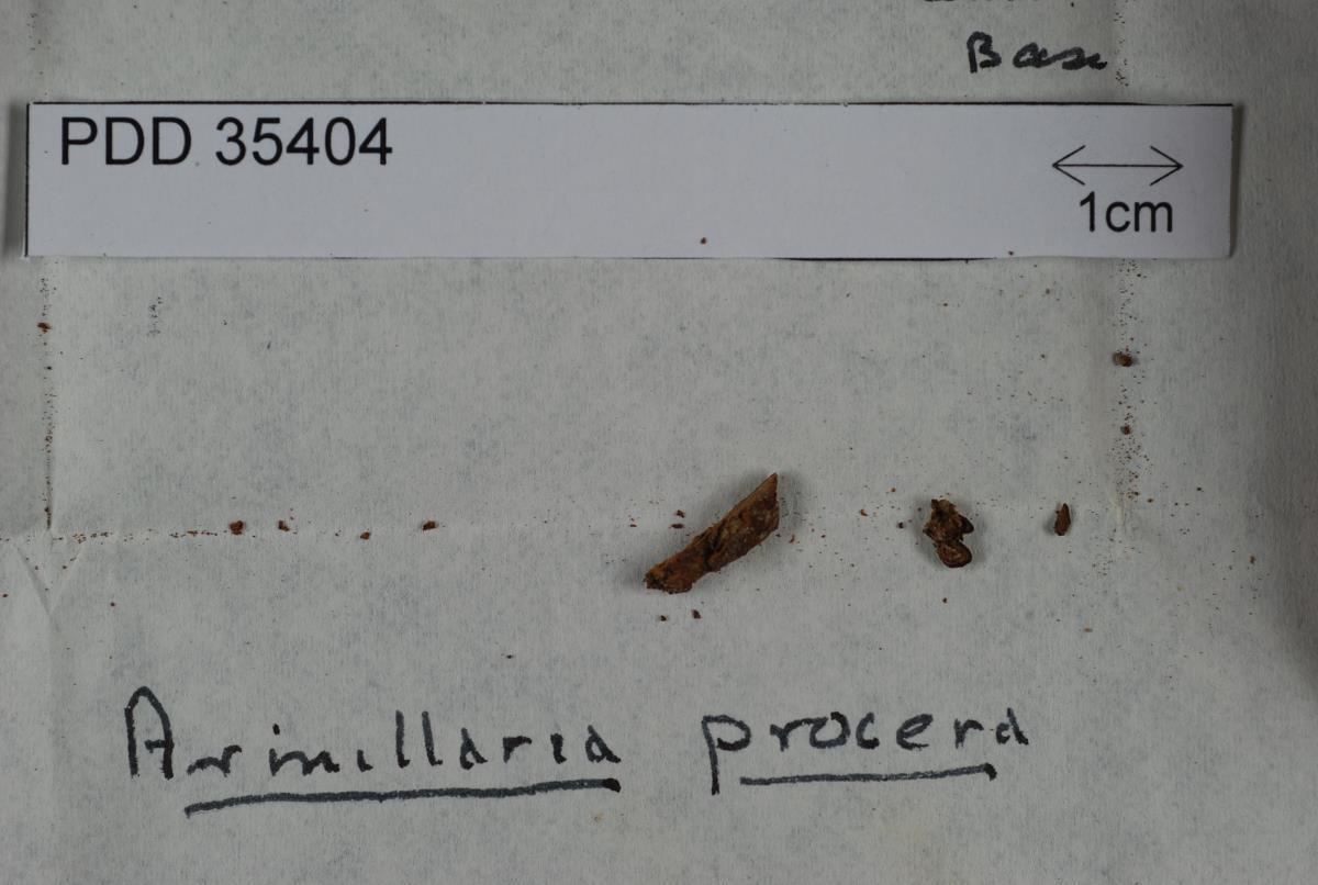 Image of Armillaria procera