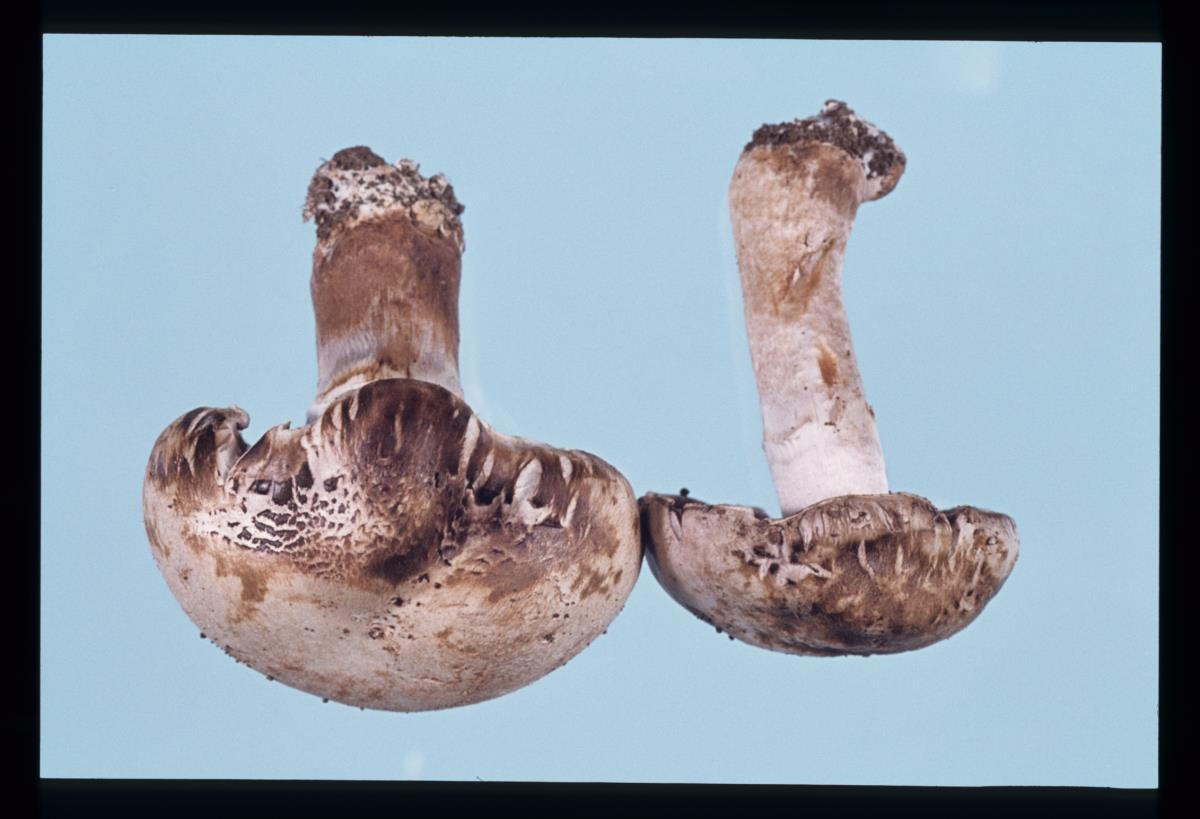 Image of Lecanicillium fungicola