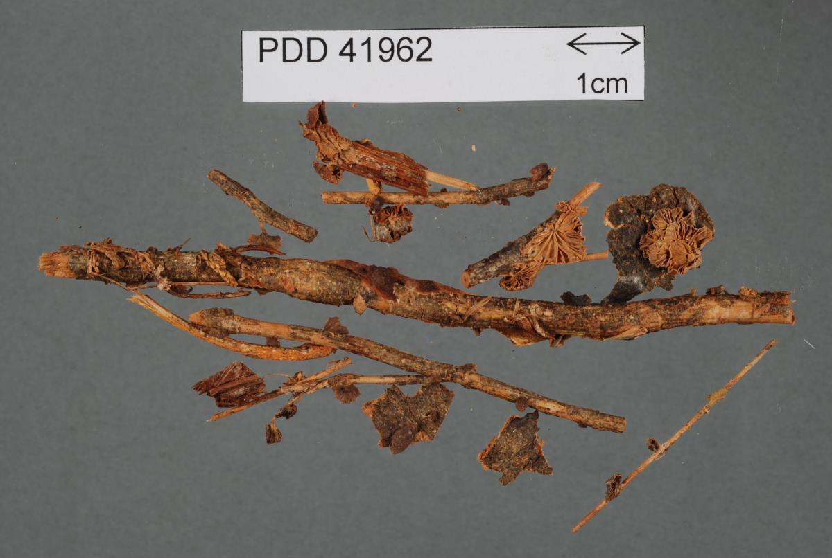 Image of Marasmius inversus