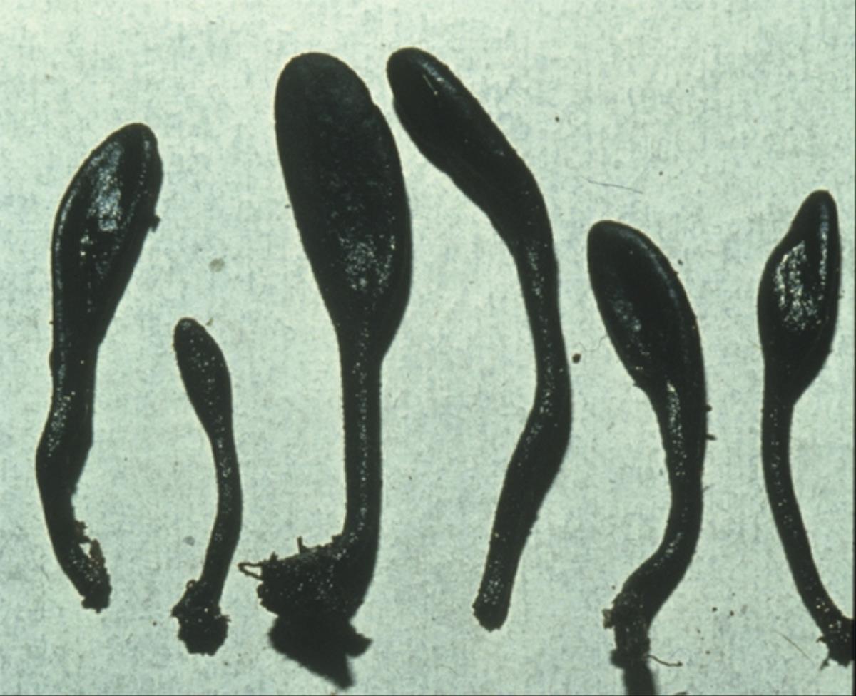 Image of Trichoglossum kunmingense