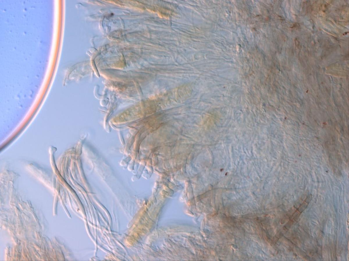 Geoglossum muelleri image