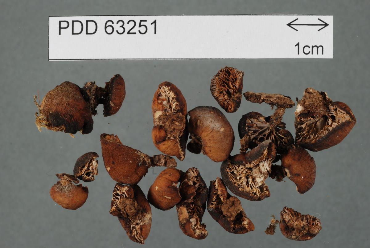 Lentinellus marginatus image