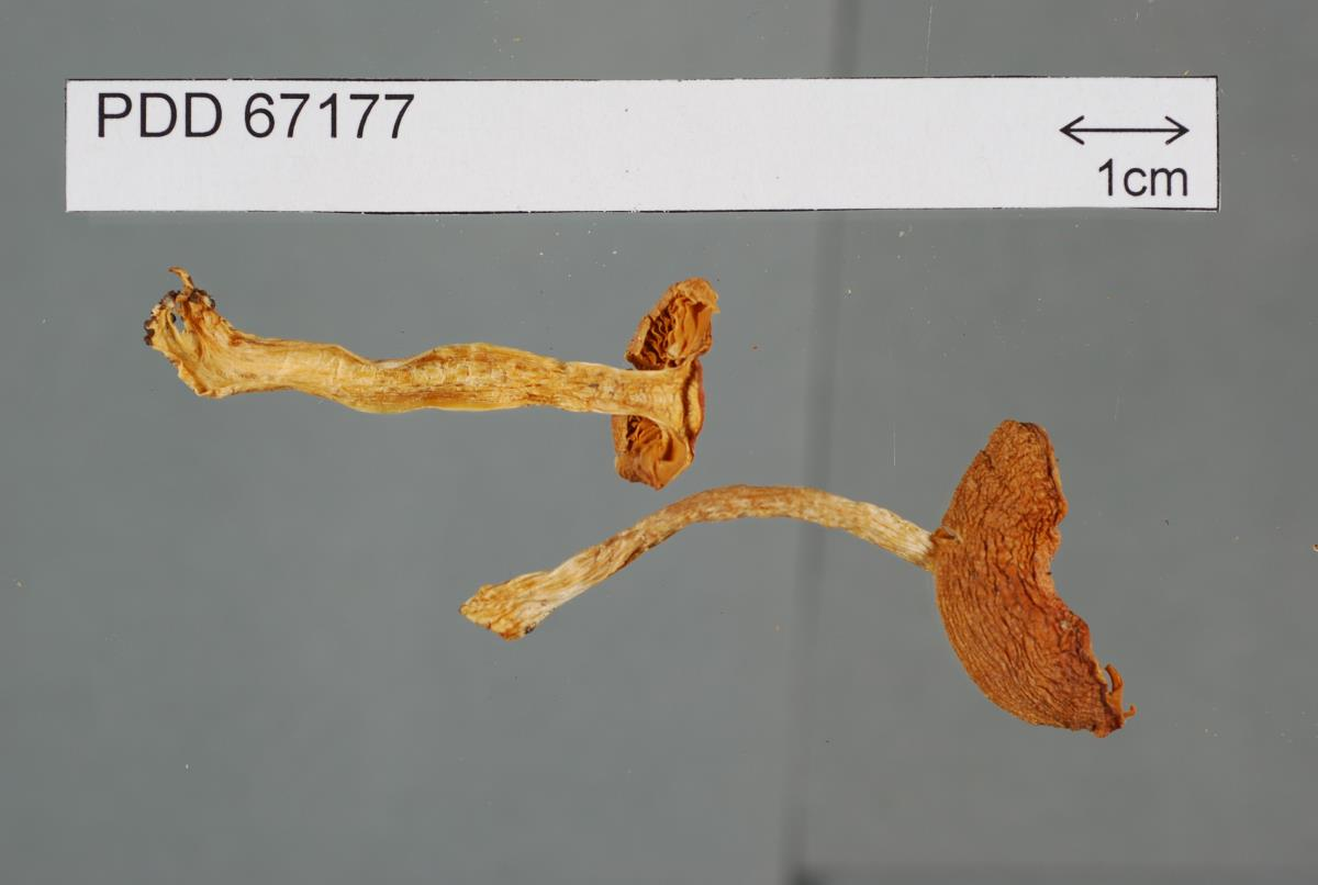 Image of Cortinarius peraureus