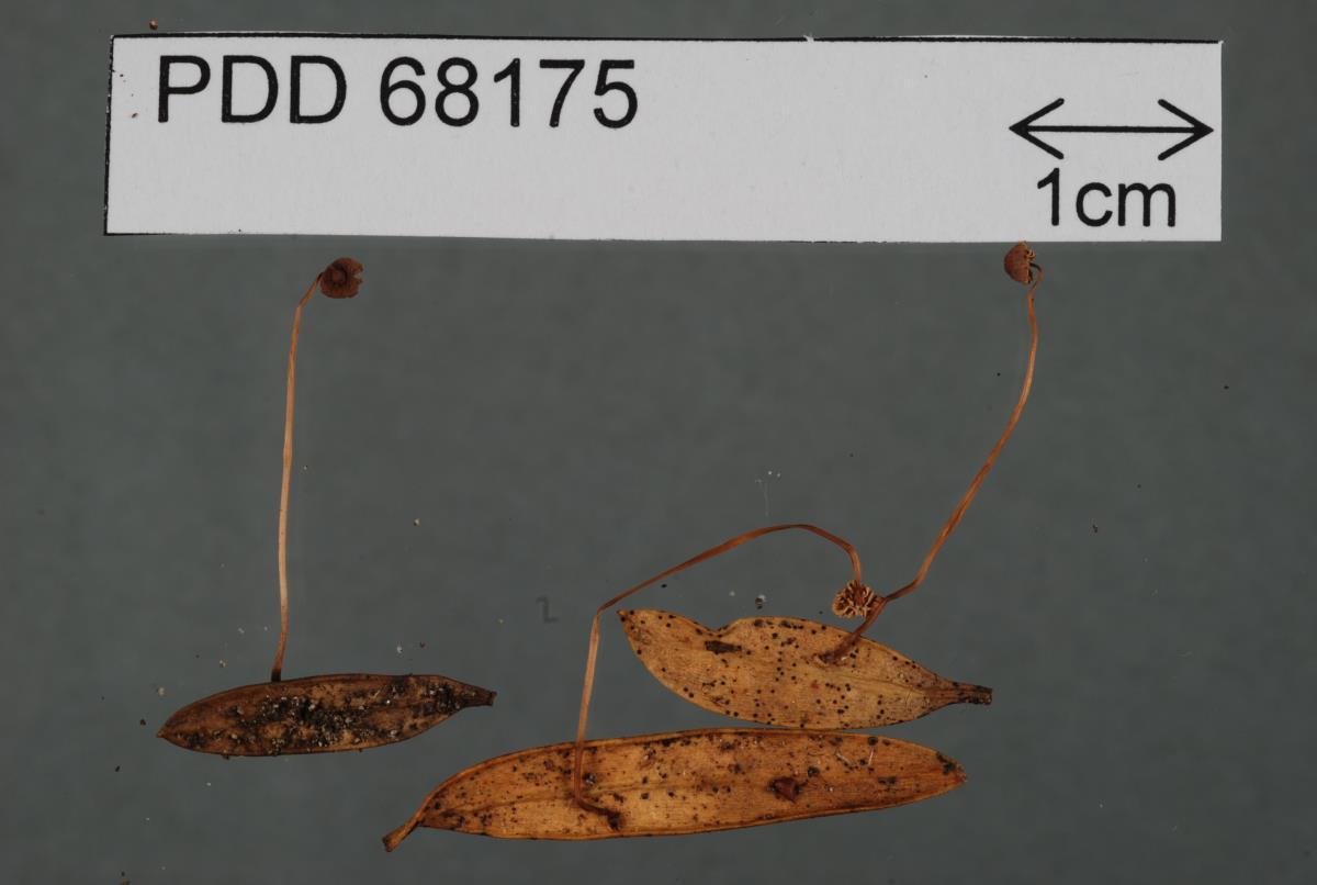 Image of Marasmius podocarpi