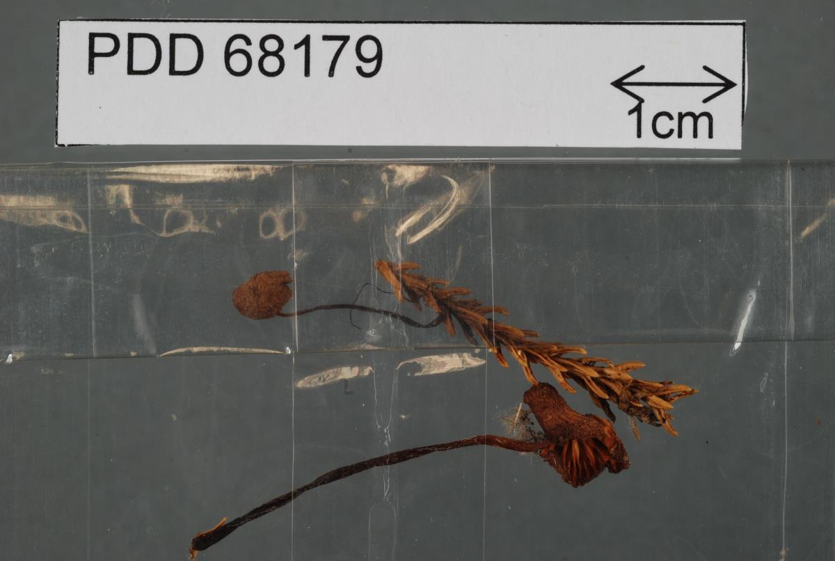 Image of Marasmius rimuphilus