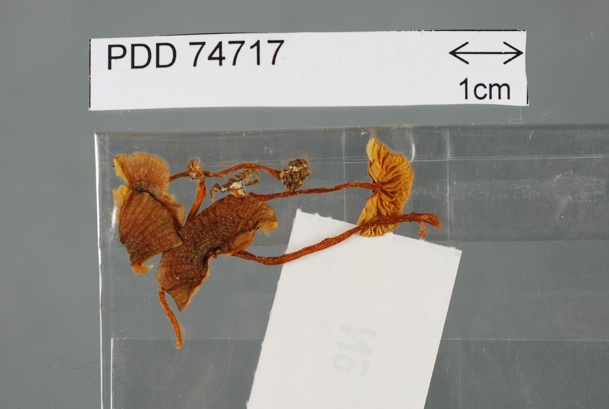 Image of Entoloma glaucoroseum