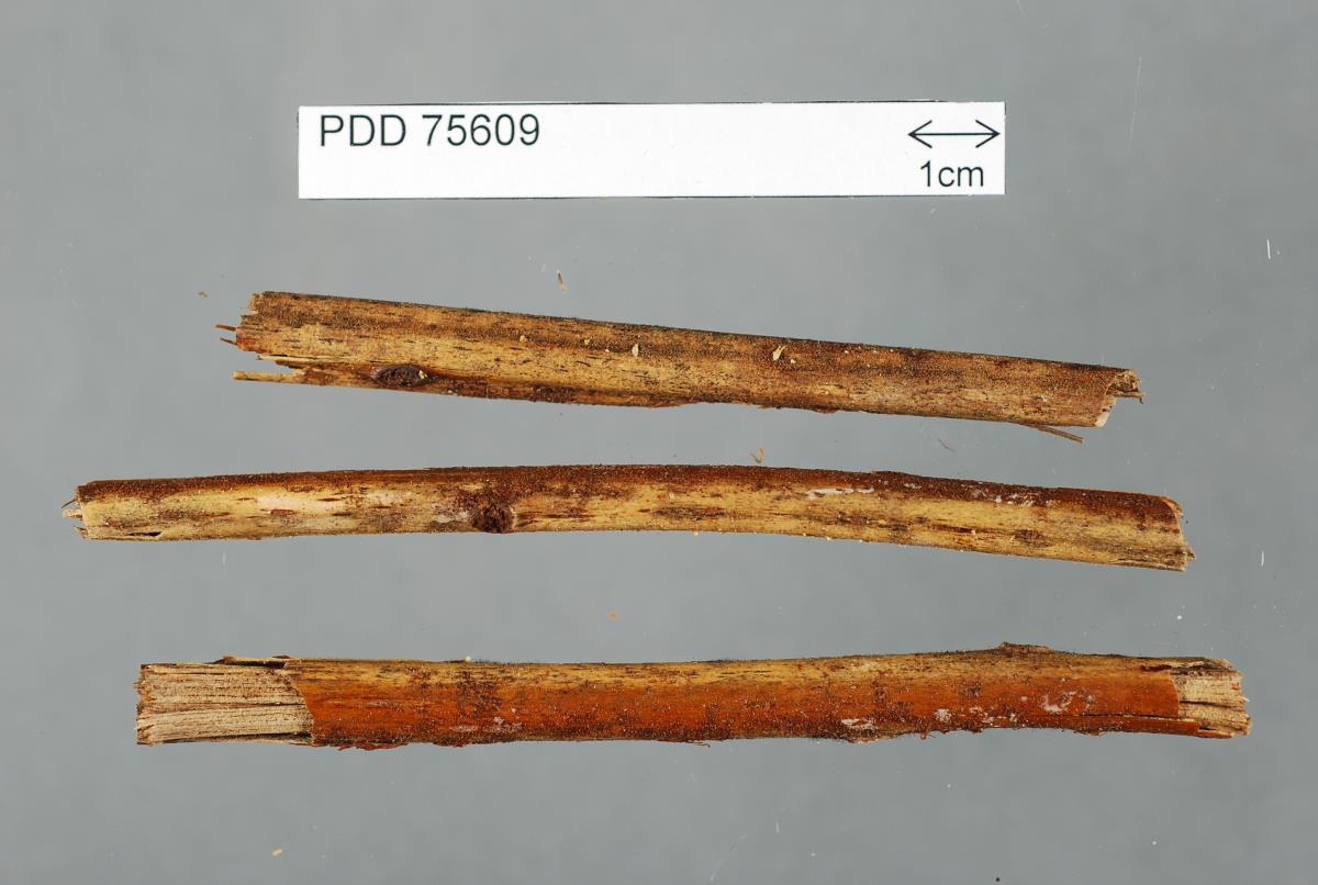 Image of Favolaschia austrocyatheae