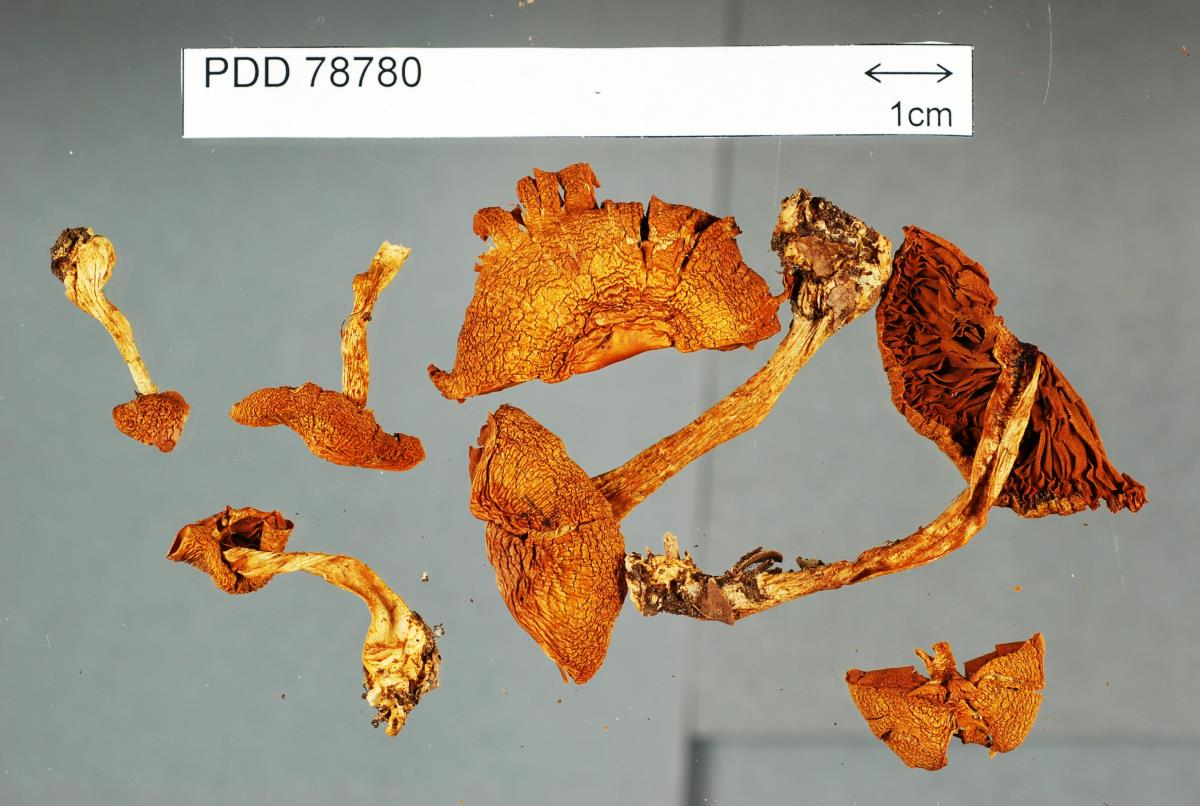 Image of Cortinarius lamproxanthus