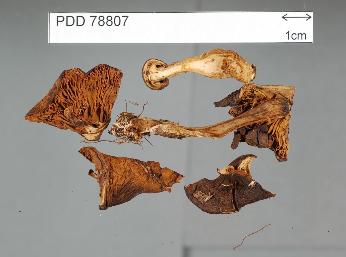 Image of Cortinarius eutactus