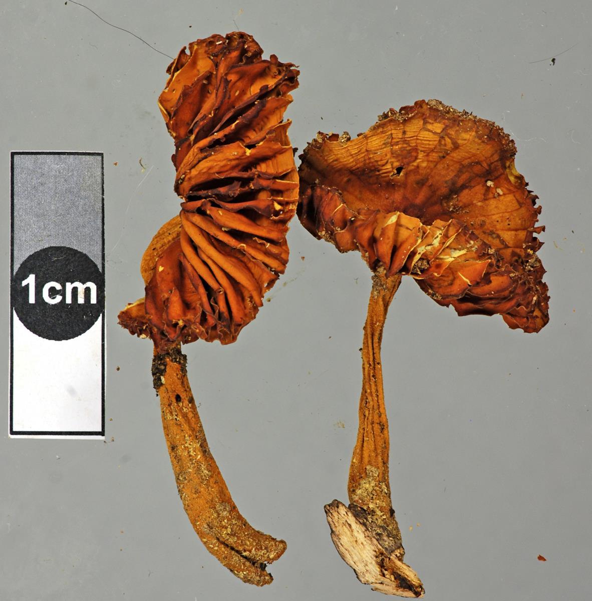 Image of Heimiomyces neovelutipes