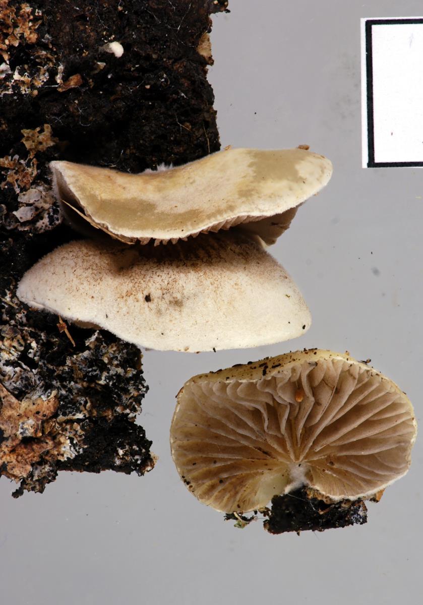 Image of Crepidotus novae-zealandiae