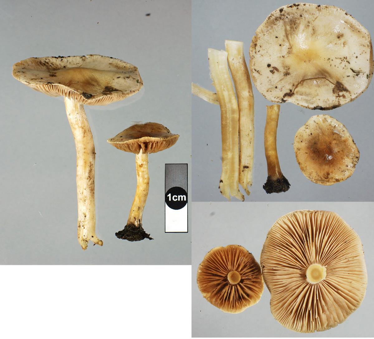 Image of Hebeloma pseudofragilipes