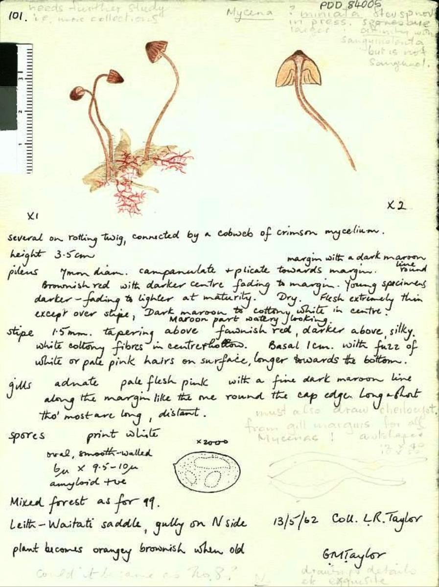Image of Mycena miniata