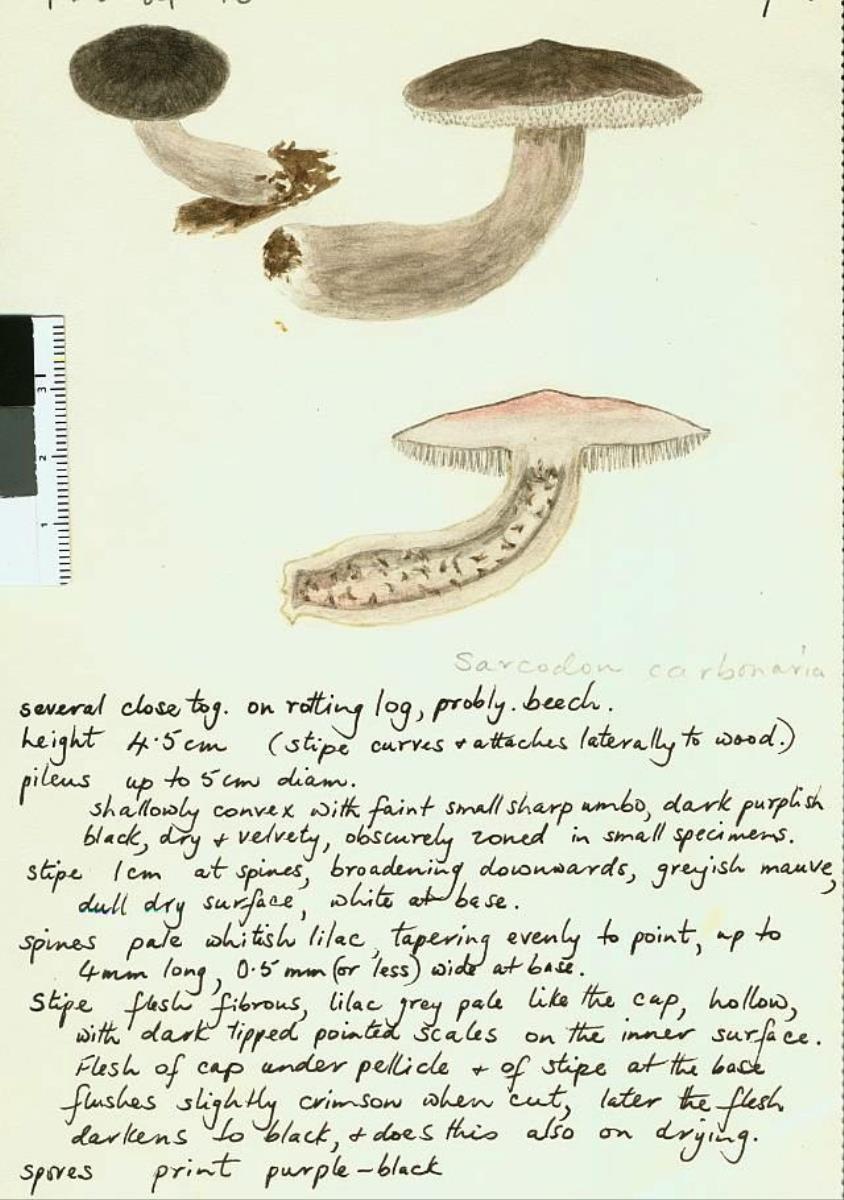 Image of Sarcodon carbonarius