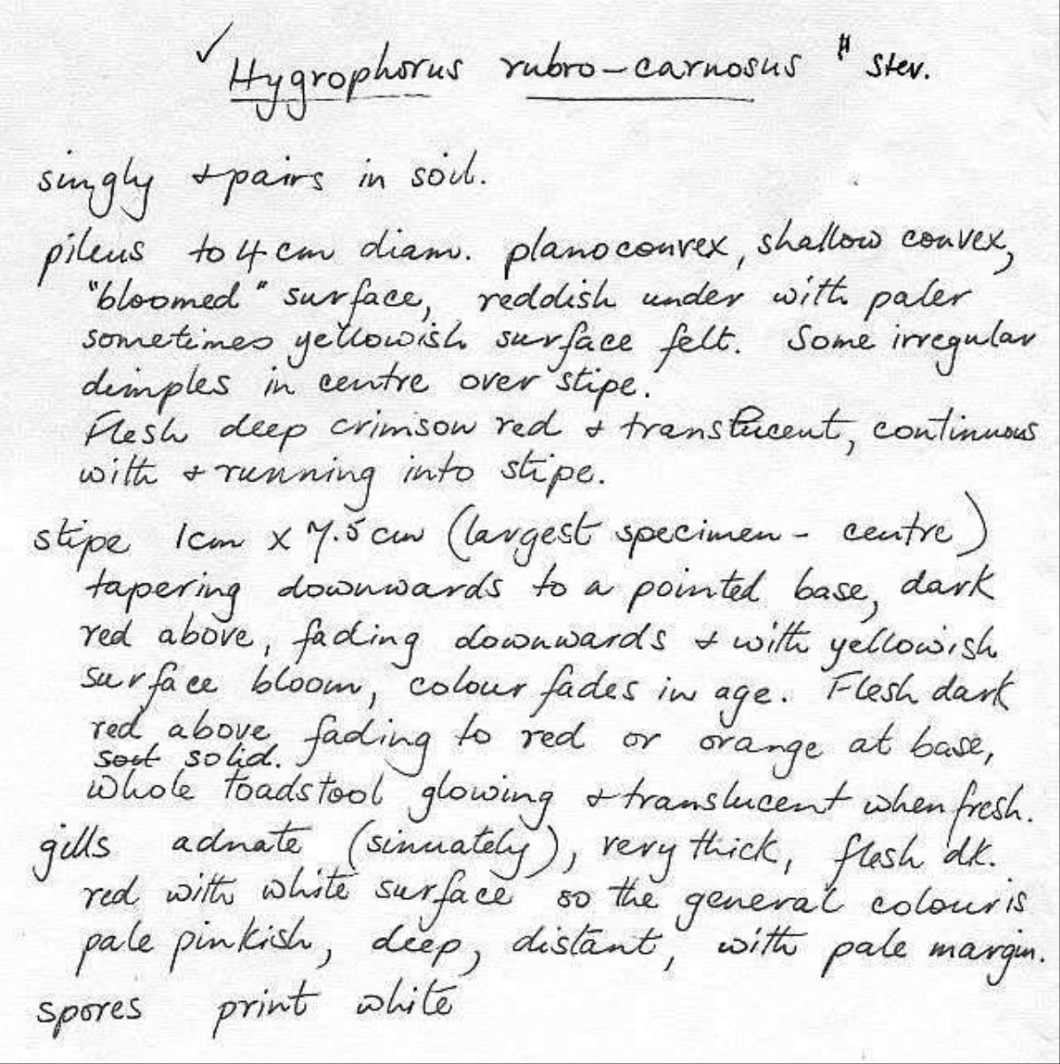 Image of Hygrophorus rubrocarnosus