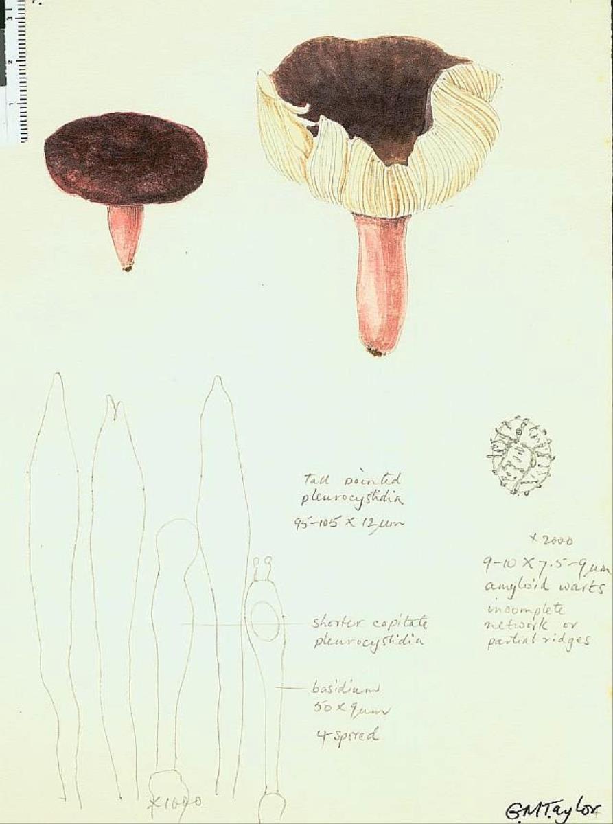 Russula aucklandica image