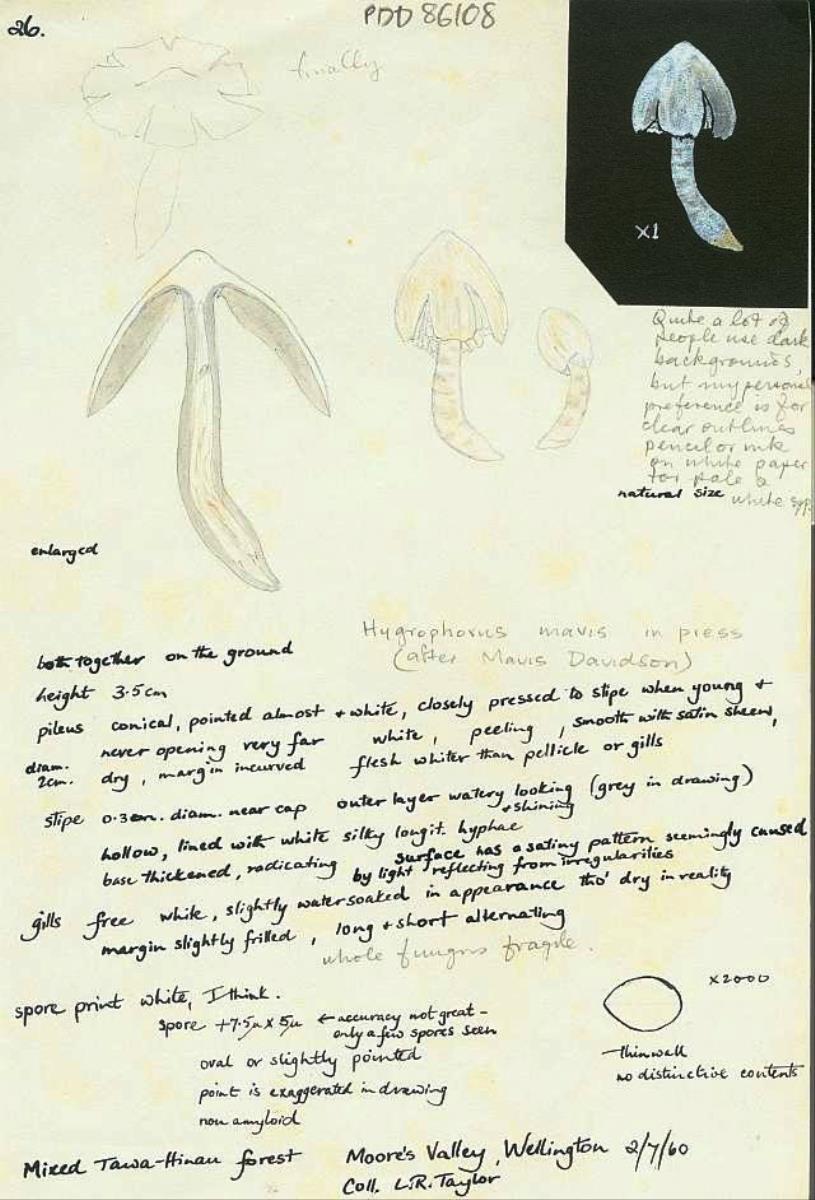 Image of Hygrophorus mavis