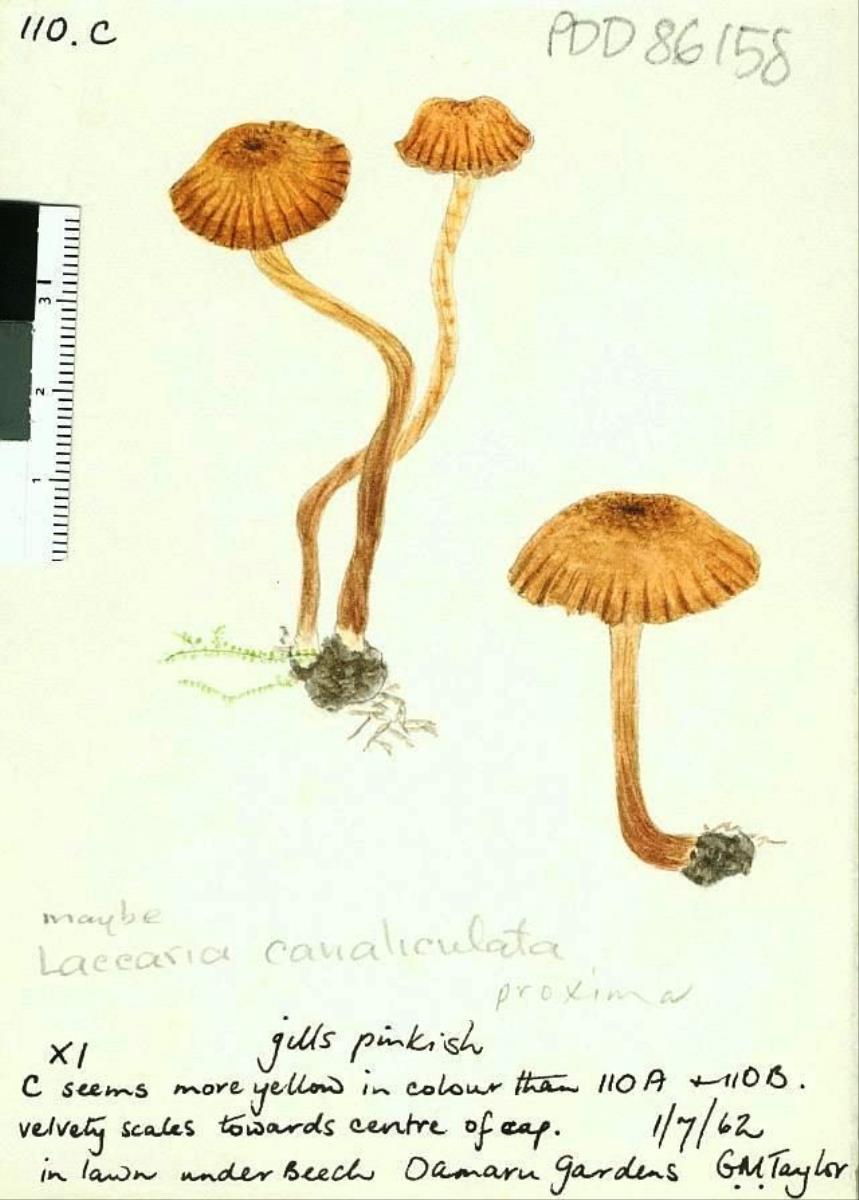 Image of Agaricus canaliculatus