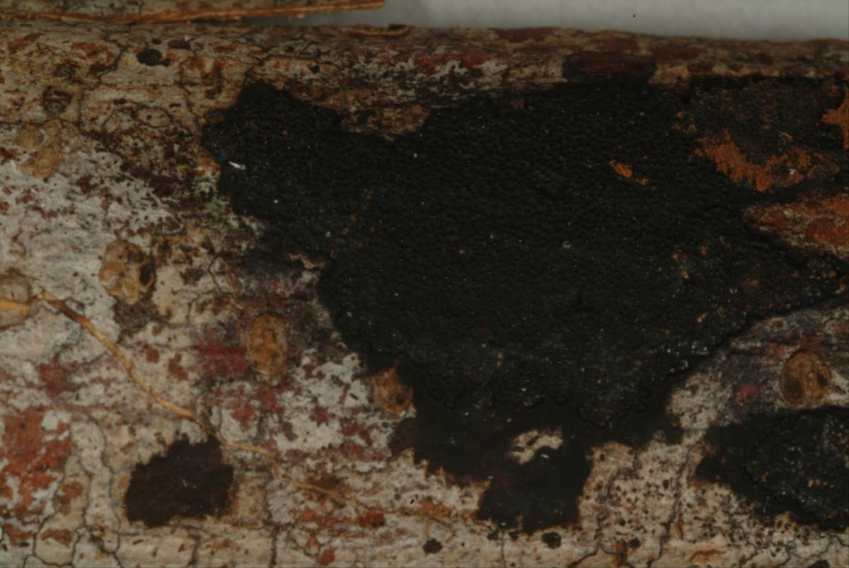 Image of Annulohypoxylon stygium