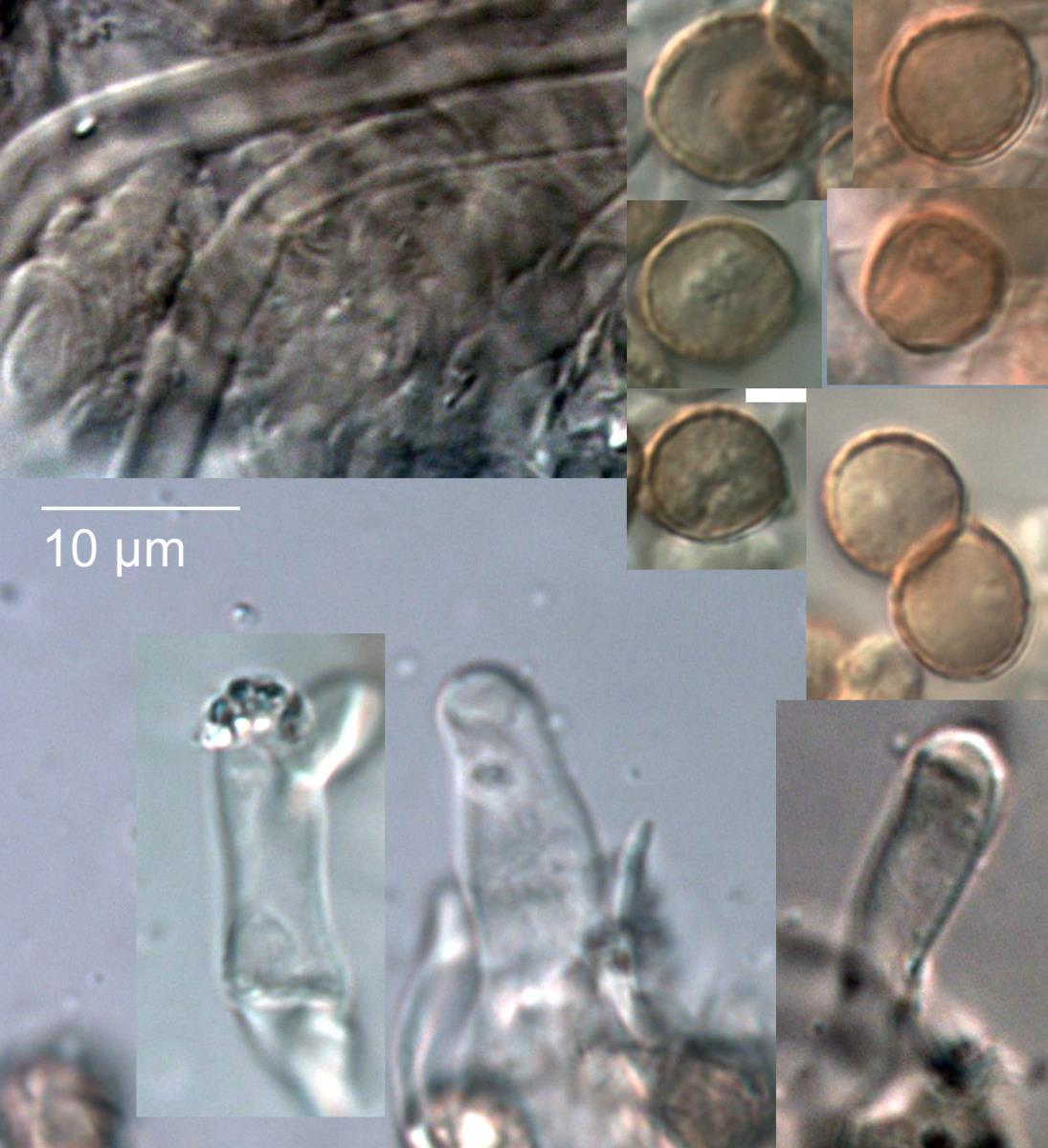 Crepidotus aureus image