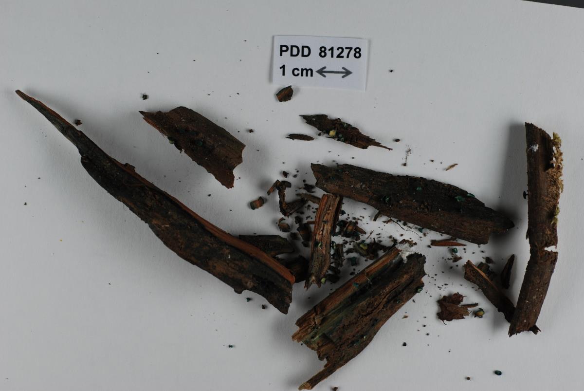 Image of Chlorociboria duriligna