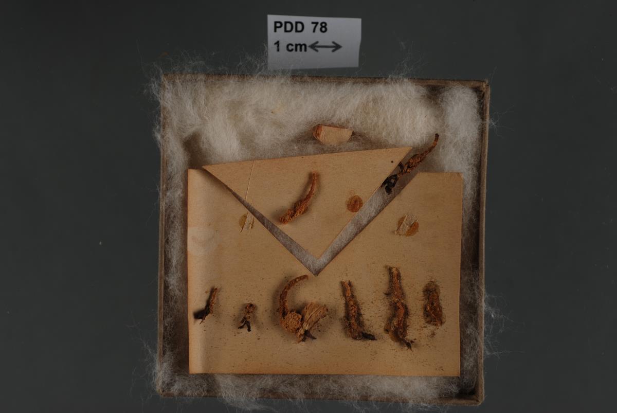 Image of Cordyceps dovei