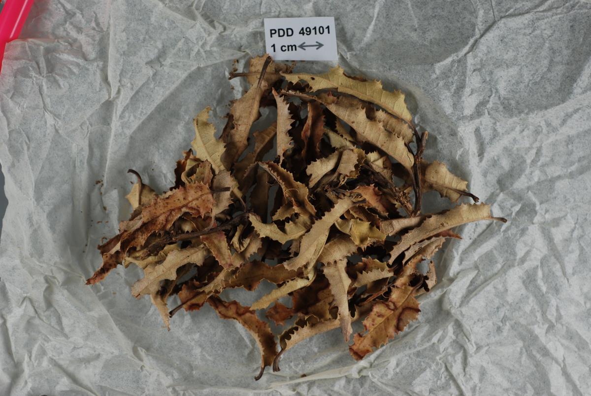 Image of Crocicreas ilicifolium