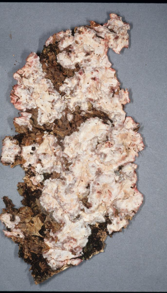 Phanerochaete cordylines image