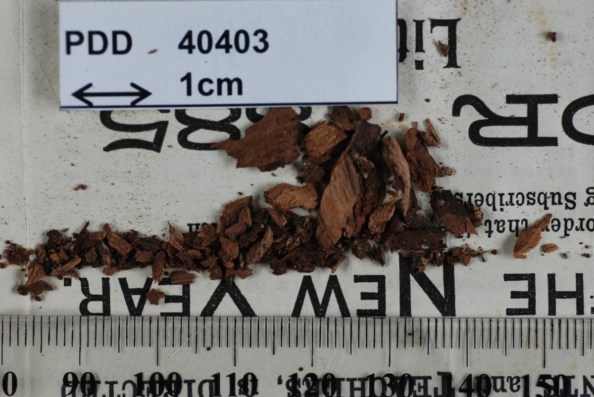 Image of Helotium subsordidum