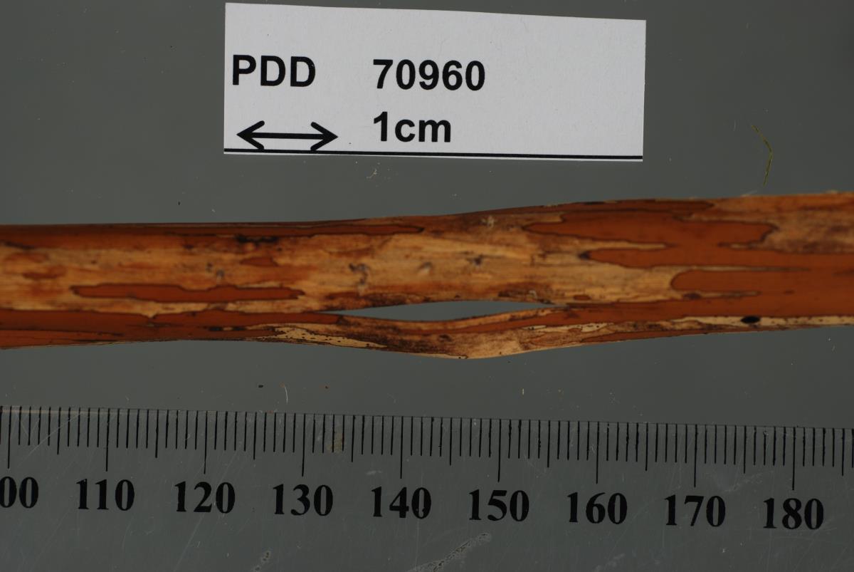 Hispidula pounamu image