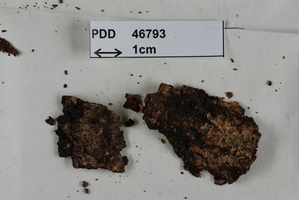 Image of Hypocrea novae-zelandiae