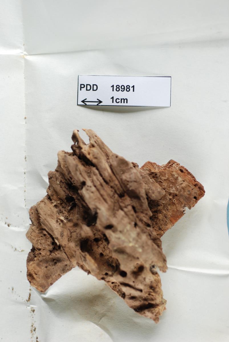 Lachnum melanophthalmum image