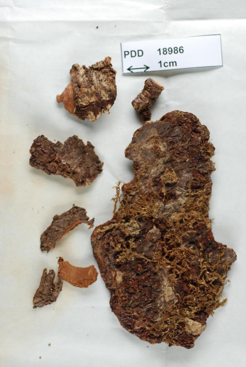 Lachnum nothofagi image