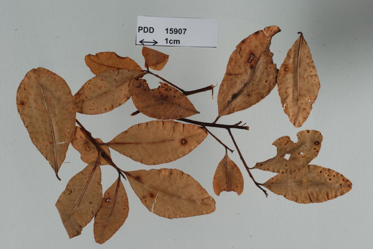 Mycosphaerella atichiae image