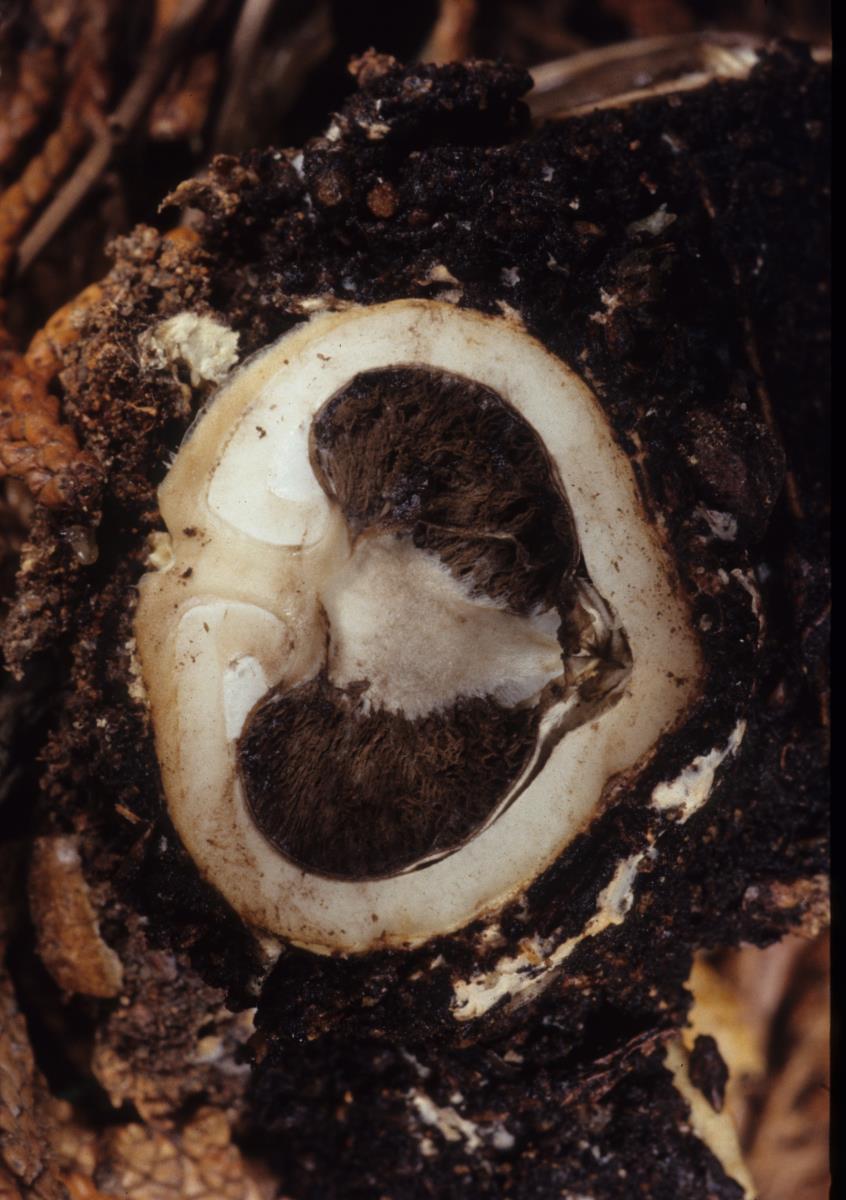 Image of Geastrum plicatum