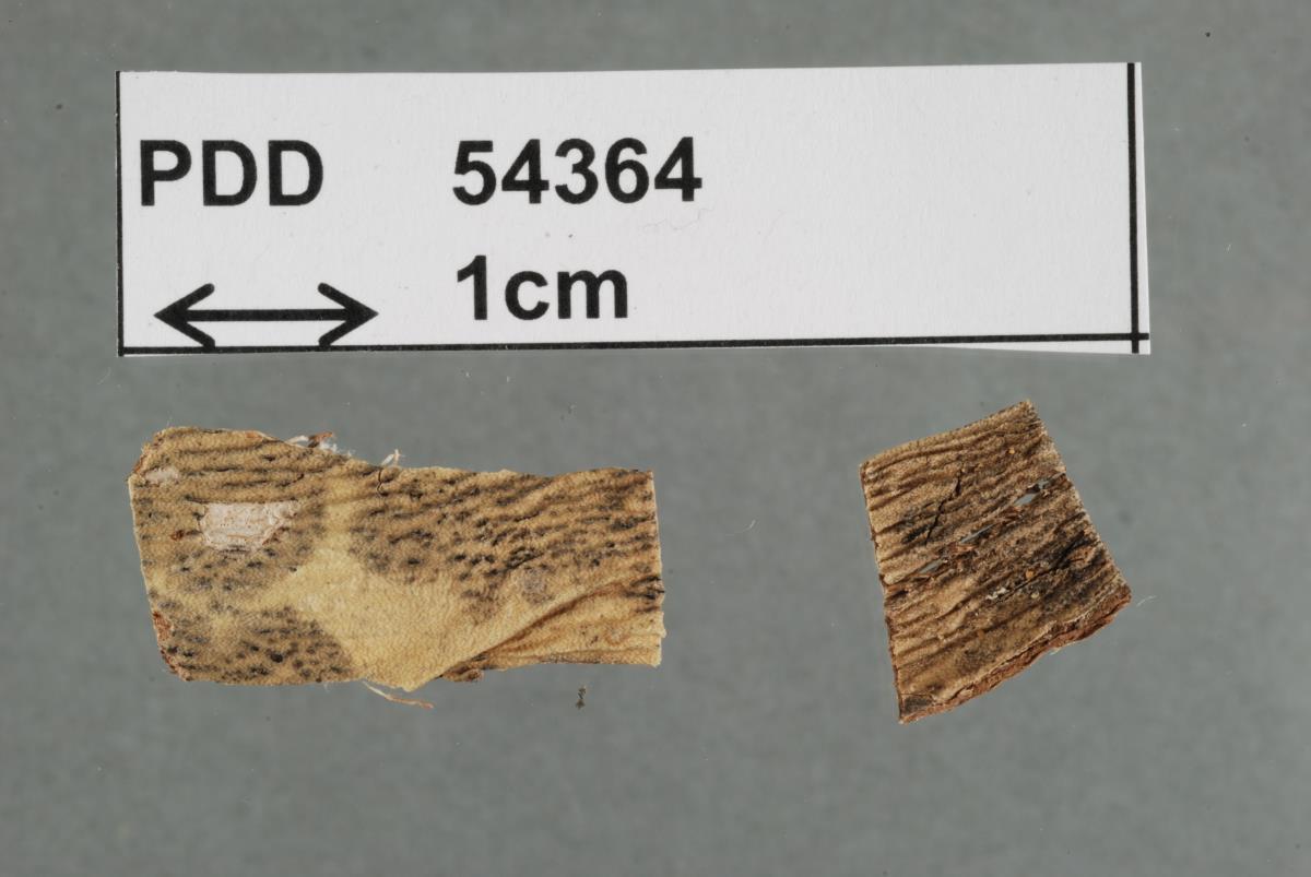 Mycosphaerella melanorhabdos image
